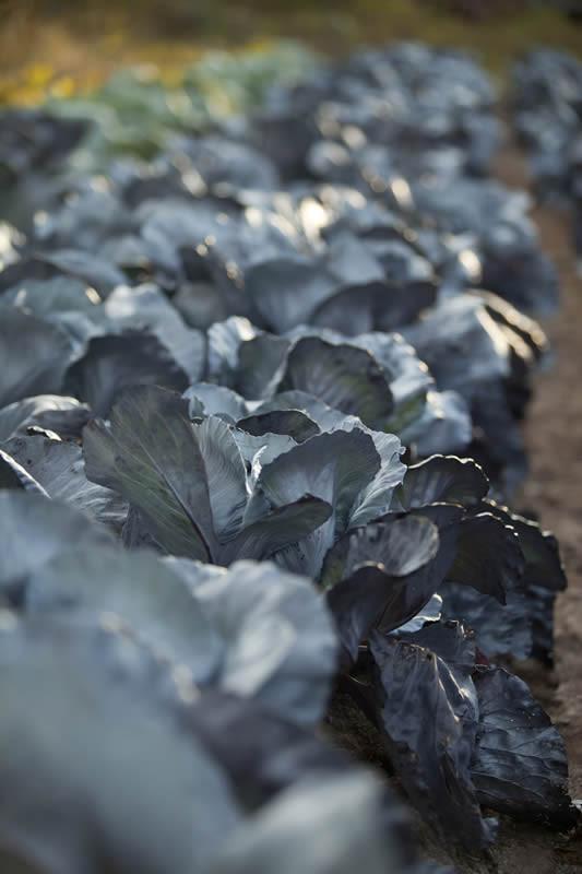 Spirit-Creek-Farm-cabbage